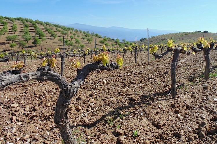 Thema Weinveredelung. Titelbild.